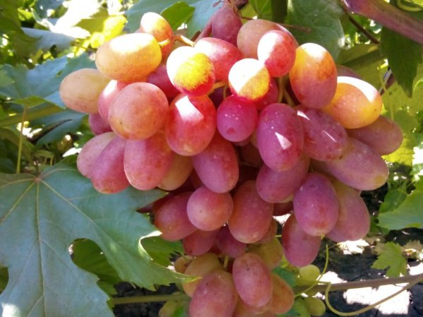 Грузия наладит на Марсе виноградарство