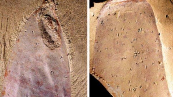 Ученые нашли обитающего в кембрийском периоде «пришельца»
