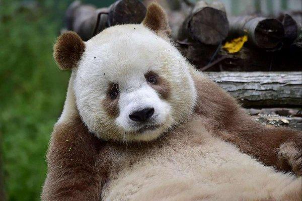 Панда уникального окраса поставила ученых в тупик