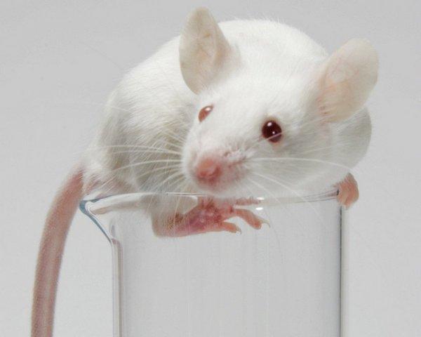 Учёные смогли частично вернуть слух мышам с наследственной глухотой