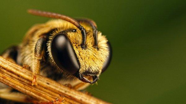 Ученые поведали, почему вымирают пчелы
