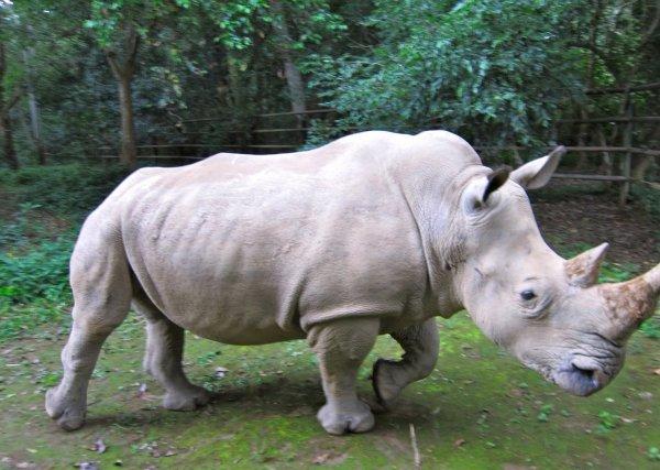 Ученые намерены «воскресить» вымершего белого носорога