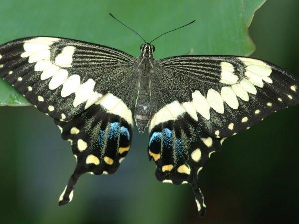 Ученые: Отростки на крыльях бабочек служат защитой от хищников