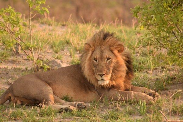 Ученые рассказали, как спасти африканских львов от вымирания