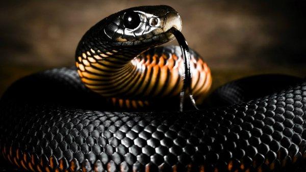Ученые составили карты повышенной змеиной опасности в мире
